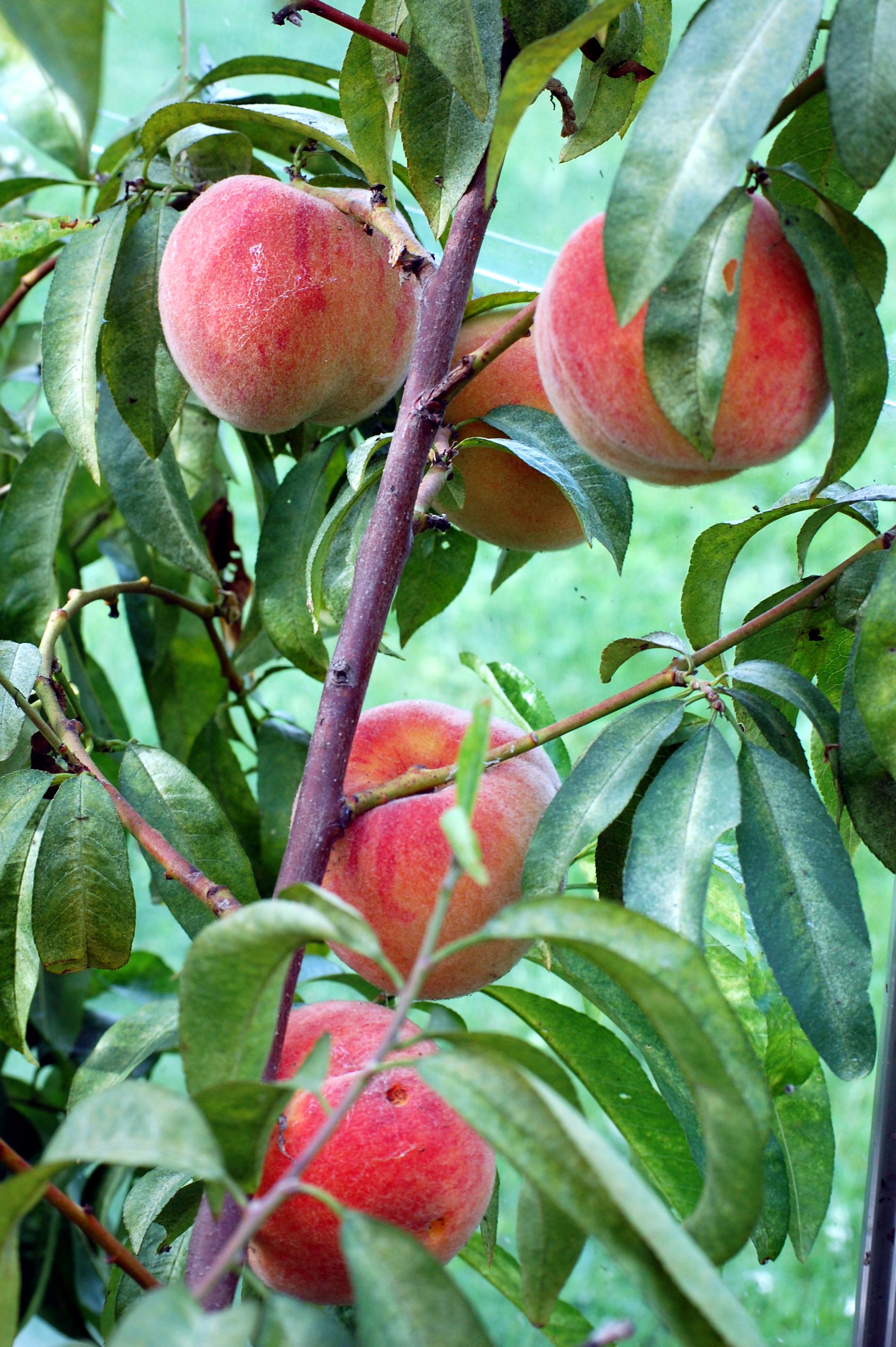 Stora, goda persikor i norrland zon 5
