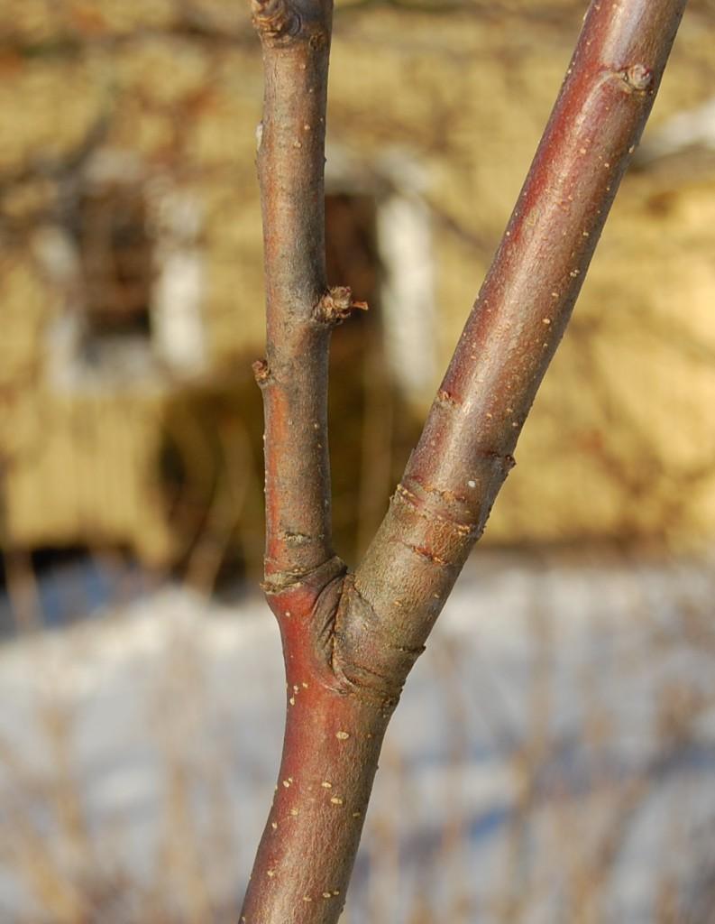 Grenbarkåsen en den veckade ytan i grenklykan