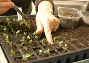 Skola frösådder småplantor dra upp och tryck ner