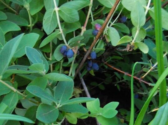 Blåbärstry anja
