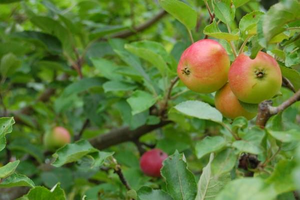 Ympat äppelträd med elva sorter
