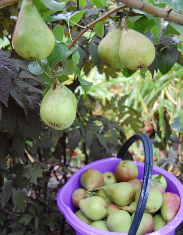 Päron Suvenirs många och stora (1)