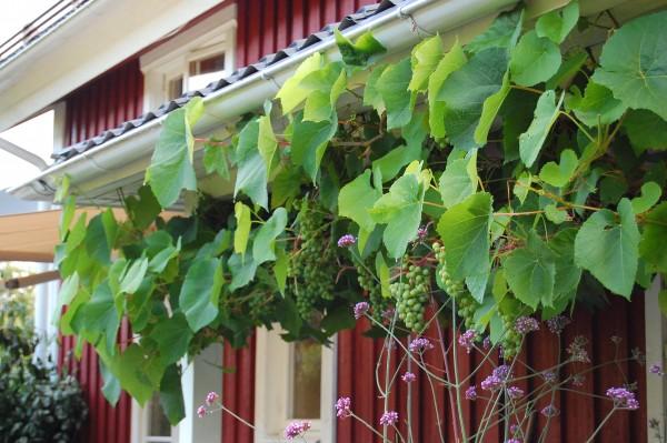 Vindruvor i Salsåker