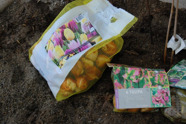 så blommar tulpanerna tidigt (2)