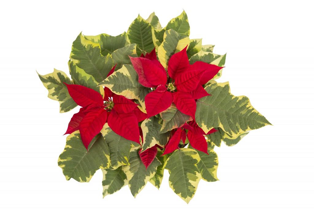 Julstjärna Tapestry fr Floradania