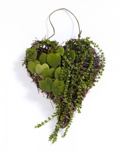 Hjärta m Hoya Kerii fr Flora Dania