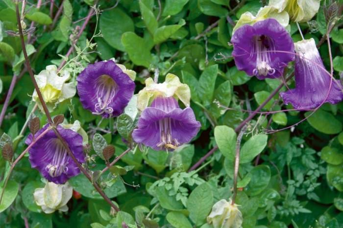 О цветах и растениях Вьющиеся растения для сада фото и