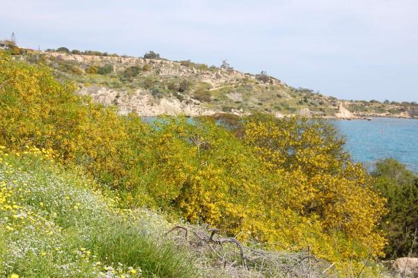Acacia saligna (1)