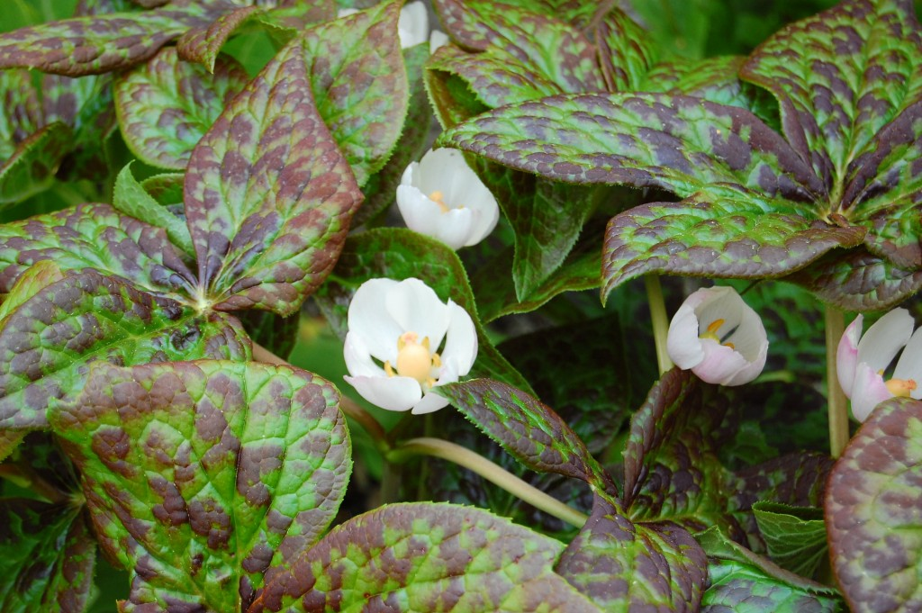 Indiskt fotblad Podophyllum hexandrum