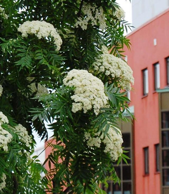 Ullungrönn Dodong blomning 2