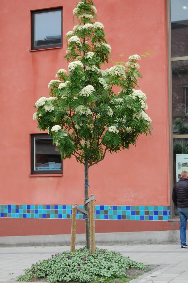 Ullungrönn Dodong blomning
