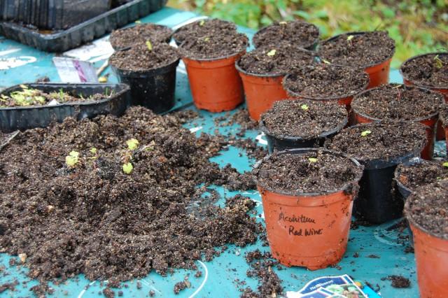 Omskola småplantor av slingesrtormhatt