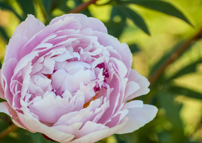 Namnlös rosa fylld pion köptes som enkel