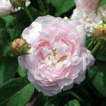 Duchesse de MonteBello gammaldags ros