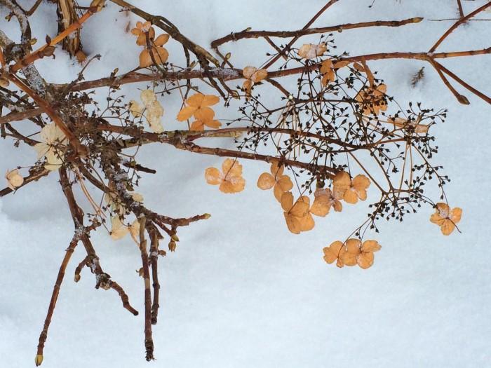 Klätterhortensia med vintervitt