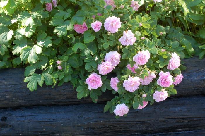 Maiden´s Blush gammaldags ros