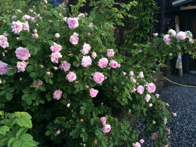 Albarosen 'Maiden's Blush' blommar länge och doftar härligt