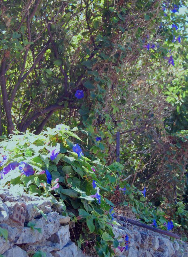 Blomman för dagen Kreta