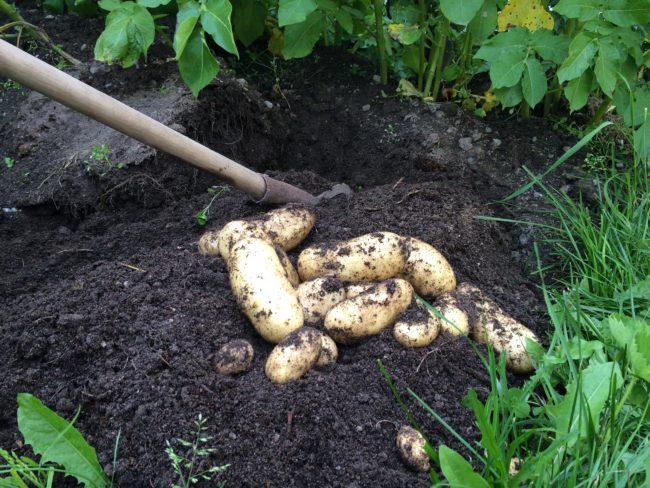 Potatis Amandine