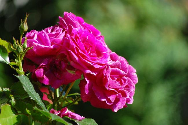 Okänd ros i norr