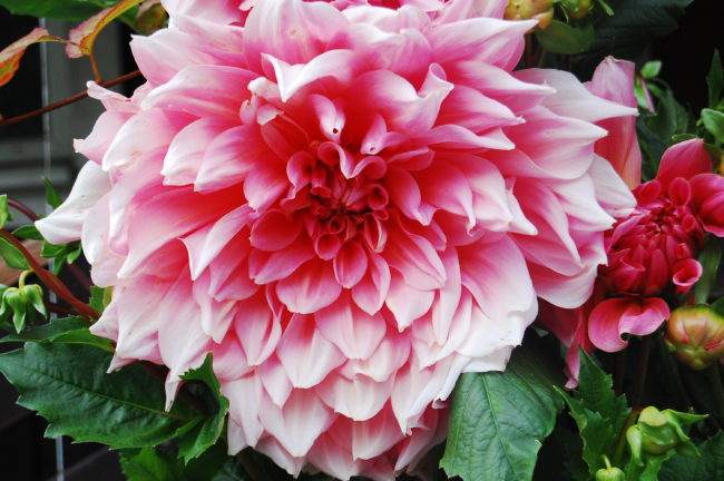 Dahlia dinnerplate ´Otto´s Thrill