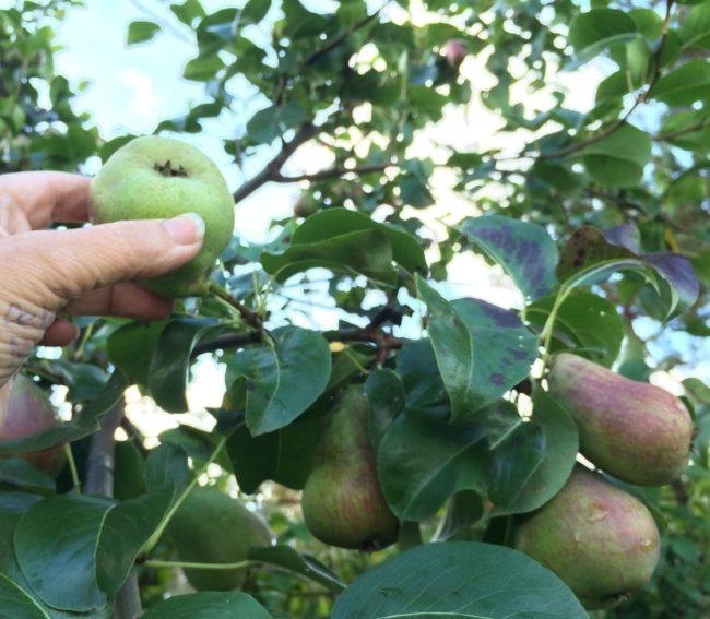 plocka frukt