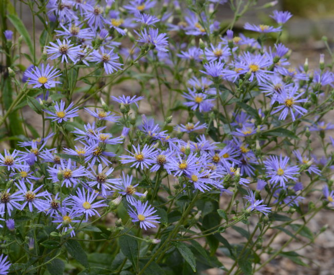 Aster macrophyllus ´Twilight´