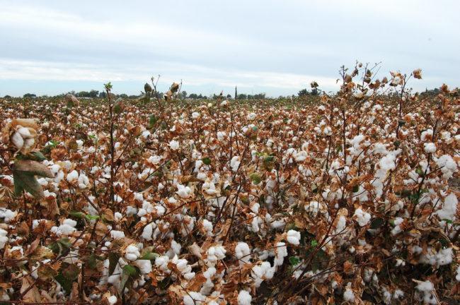 Bomullsodling i Kalifornien