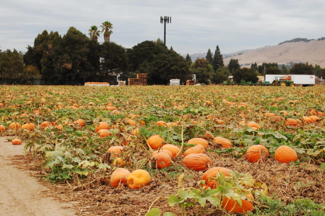 Pumpaodling i Kalifornien
