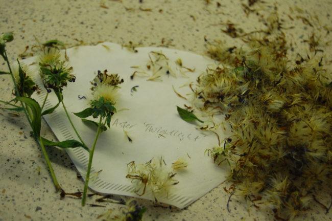 Frön från perenn aster
