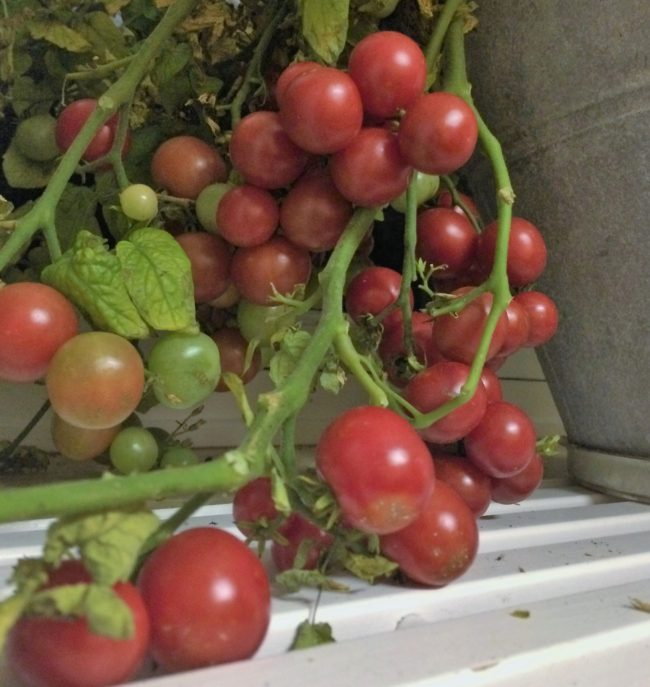 Vilka är de godaste tomatsorterna?