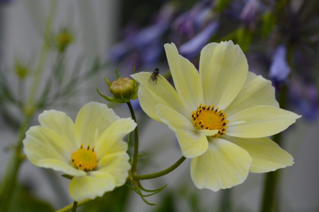Rosenskära , Cosmos bipinnatus ´Sunset Yellow´