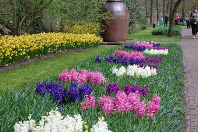 Läckra färger på hyacinterna i Keukenhof, Holland