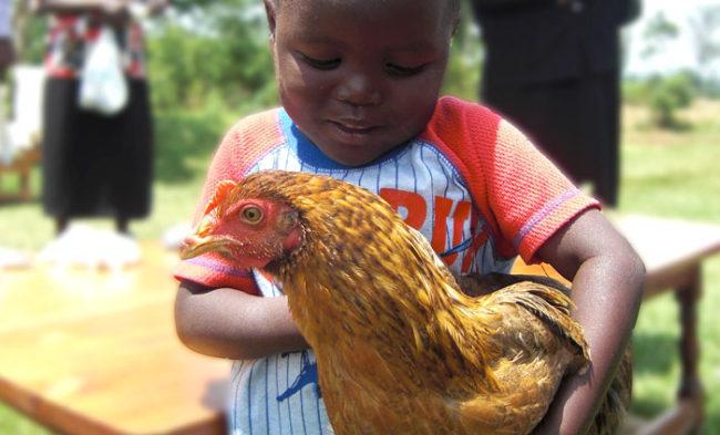 För 70 kr kan du köpa en värphöna och foder till en fattig familj i Kenya