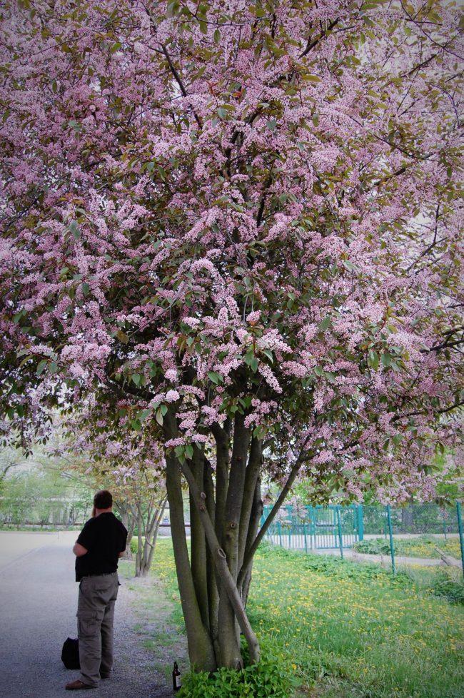 blommande träd zon 5