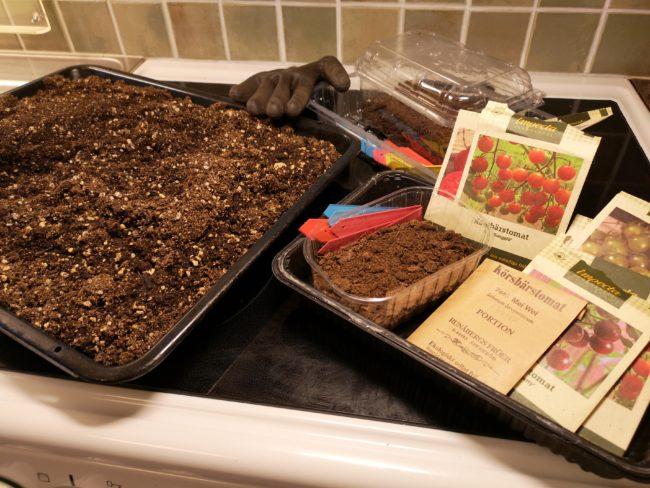 odla tomater frösådd
