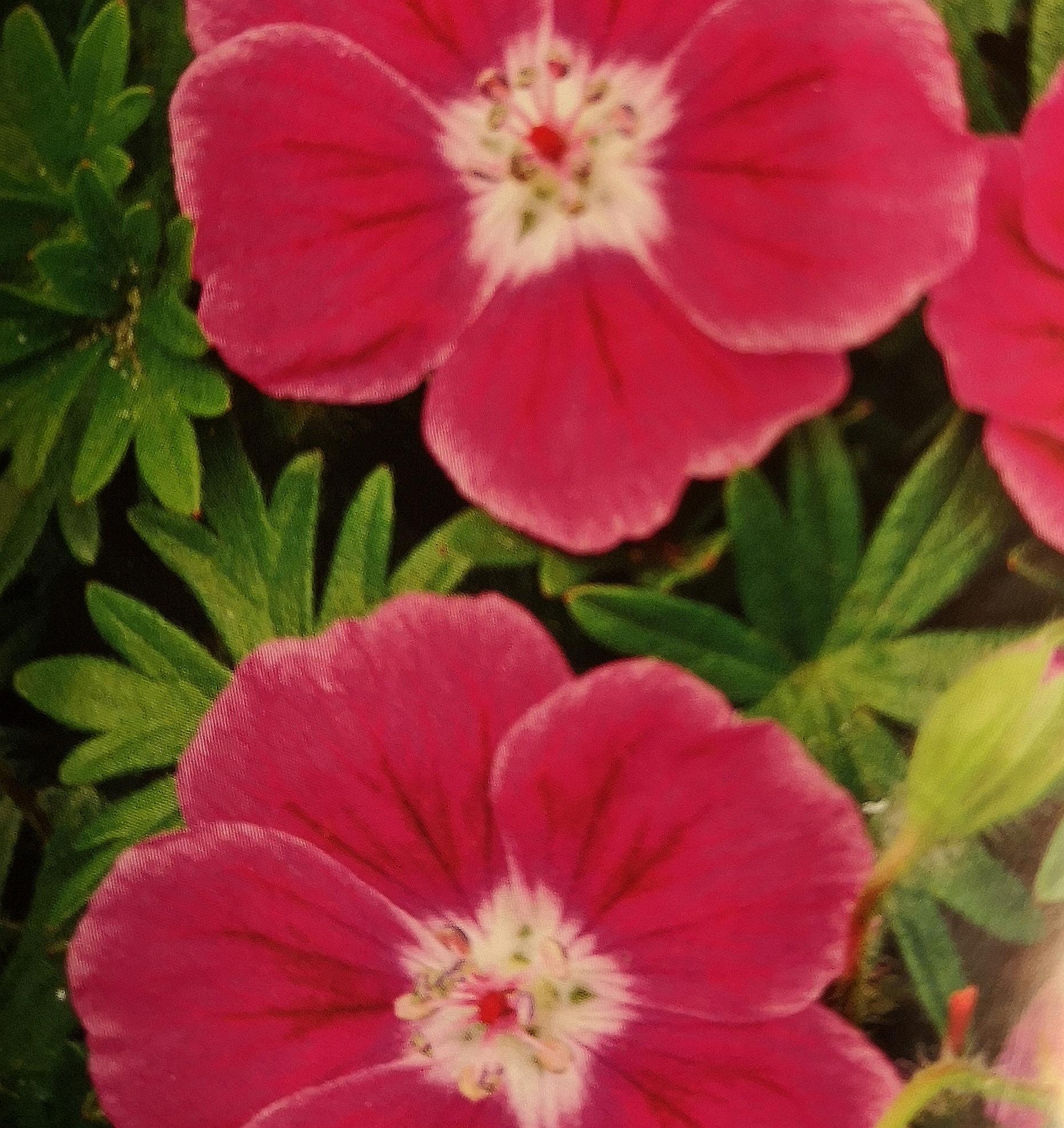 Blodnäva Geranium sanguineum ´Elke´ 45 kr