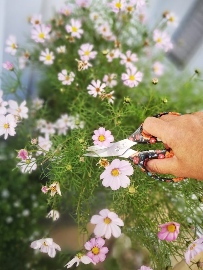 Klipp bort vissna blommor så blomar sommarblommorna länge
